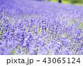 ラベンダー畑(札幌 幌見峠) 43065124