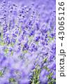 ラベンダー ラベンダー畑 花畑の写真 43065126
