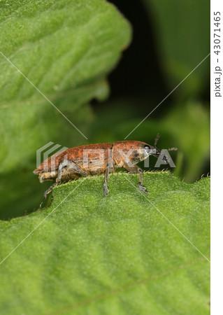 生き物 昆虫 カツオゾウムシ、赤茶色の粉を纏っていますが粉が取れると黒い体になります 43071465