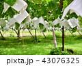 葡萄 農業 葡萄畑の写真 43076325