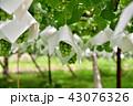 葡萄 農業 葡萄畑の写真 43076326