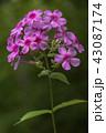 花 草夾竹桃 ハナシノブ科の写真 43087174