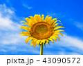 ひまわり 向日葵 花の写真 43090572