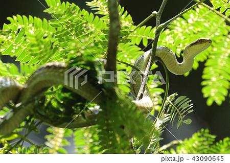 生き物 爬虫類 シマヘビ、木に登る姿はあまり見かけないのですが・・・。お腹の白もきれいです 43090645