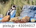 フンボルトペンギン ペンギン 鳥類の写真 43094017