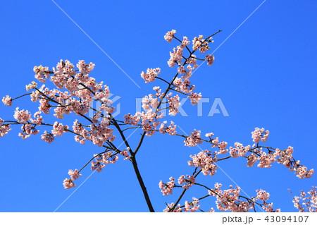 京都 東本願寺 渉成園の桜 43094107