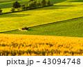 美瑛の丘 麦畑 田園風景の写真 43094748