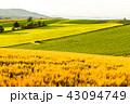 美瑛の丘 麦畑 田園風景の写真 43094749