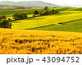 美瑛の丘 麦畑 田園風景の写真 43094752