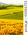 美瑛の丘 麦畑 田園風景の写真 43094755