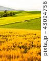 美瑛の丘 麦畑 田園風景の写真 43094756