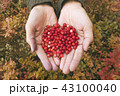 Female Hands Holding Handful of Fresh Red Cranberries at Autumn Forest Background 43100040