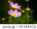 コスモス 花 桃色の写真 43104410