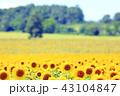青空に映える満開のひまわり 北海道 北竜町 ひまわりの里 43104847