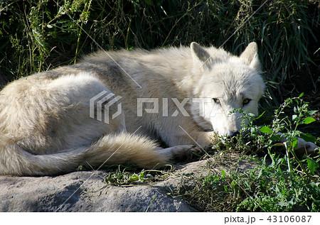 シンリンオオカミ 43106087