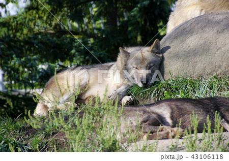 シンリンオオカミ 43106118