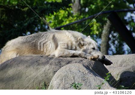 シンリンオオカミ 43106120