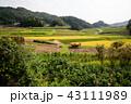 女性 稲 日本の写真 43111989