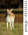 ダマジカ しか シカの写真 43113121