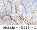 梅 白梅 花の写真 43116441