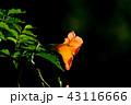 植物 花 ノウゼンカズラの写真 43116666