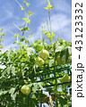 フウセンカズラ 緑色 実の写真 43123332