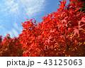 紅葉 モミジ 葉の写真 43125063
