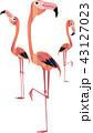 三羽のフラミンゴ 43127023