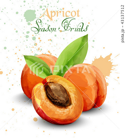 Apricot watercolor Vector. Delicious fruit 43137512
