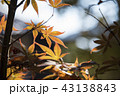 赤い葉 モミジの葉 赤葉の写真 43138843