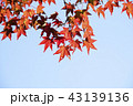 赤い葉 モミジの葉 赤葉の写真 43139136