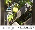 ホウズキのような緑色の実はフウセンカズラの未熟な実 43139137