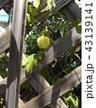ホウズキのような緑色の実はフウセンカズラの未熟な実 43139141