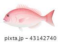タイ マダイ 鯛 真鯛 白背景 43142740