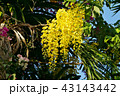 ゴールデンシャワー マメ科 花房の写真 43143442