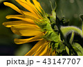 お花 フラワー 咲く花の写真 43147707
