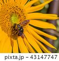 ハチ ミツバチ 蜂の写真 43147747