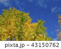 紅葉 青空 銀杏の写真 43150762