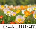 アイスランドポピー 花 花畑の写真 43154155