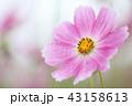 花 コスモス ピンクの写真 43158613