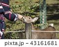 鹿 シカ しかの写真 43161681