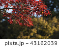 赤い葉 モミジの葉 赤葉の写真 43162039