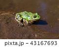 かえる カエル 蛙の写真 43167693