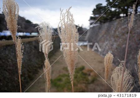 ススキのクローズアップと名古屋城 43171819