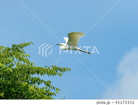 飛ぶチュウサギ 43173352