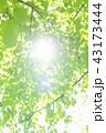 新緑 葉 青葉の写真 43173444