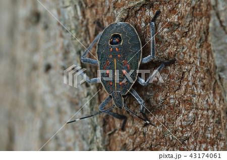生き物 昆虫 キマダラカメムシ、幼虫です。黄色い縁取りにオレンジ色の斑点。背中に青い顔が・・・ 43174061