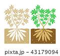 根 キャッサバ 菜園のイラスト 43179094
