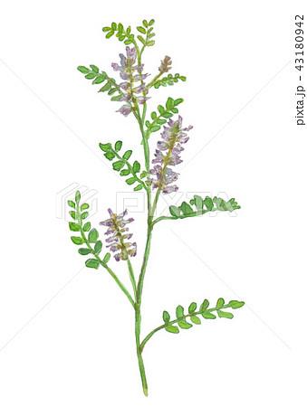 Glycyrrhiza uralensis カンゾウ リコリス 43180942