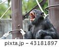 チンパンジー 43181897